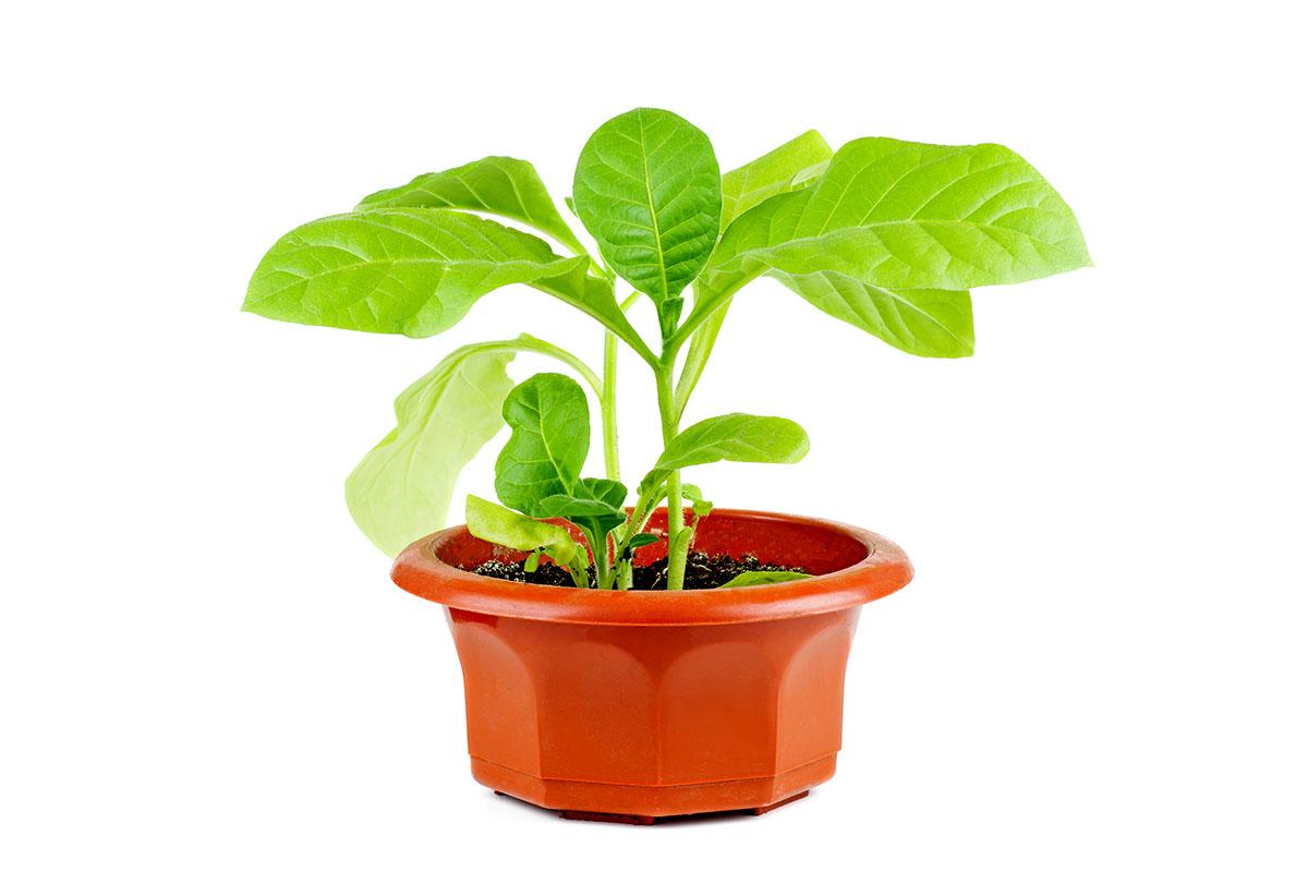 Zaļās tabakas augs