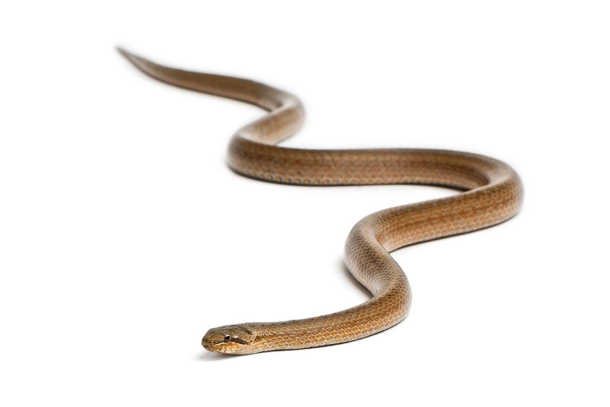 Gludenā čūska
